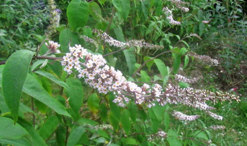 Буддлея белоцветковая Buddleja albiflora фото