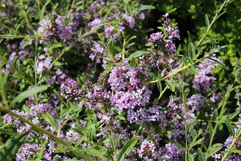 Буддлея очереднолистная Buddleja alternifolia фото