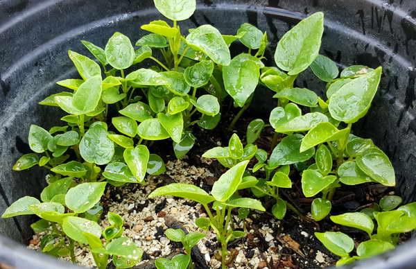 Бугенвиллия из семян фото
