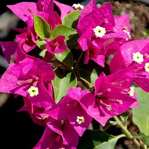 Бугенвиллия перуанская Bougainvillea peruviana фото