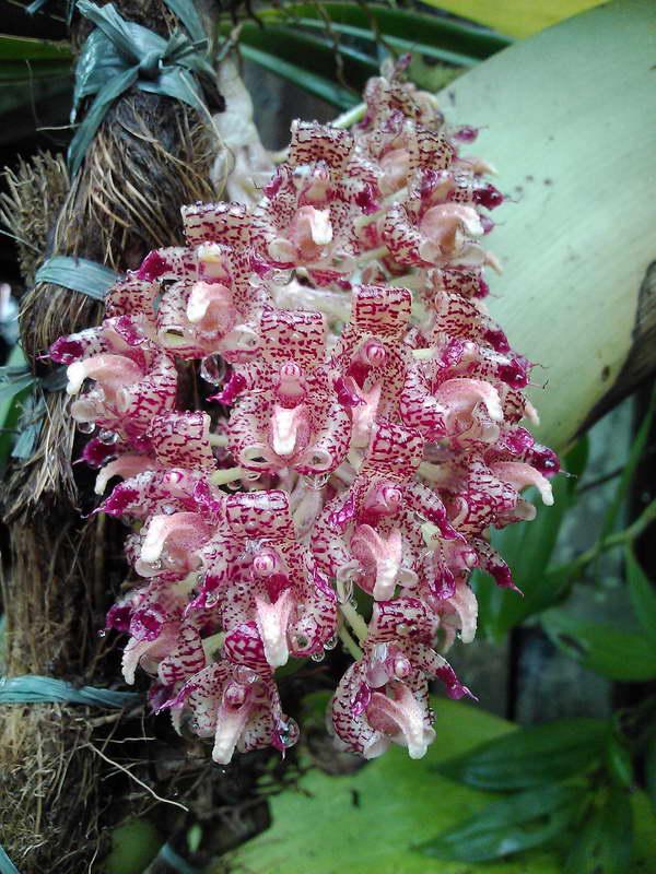 Бульбофиллум Беккари Bulbophyllum beccarii фото