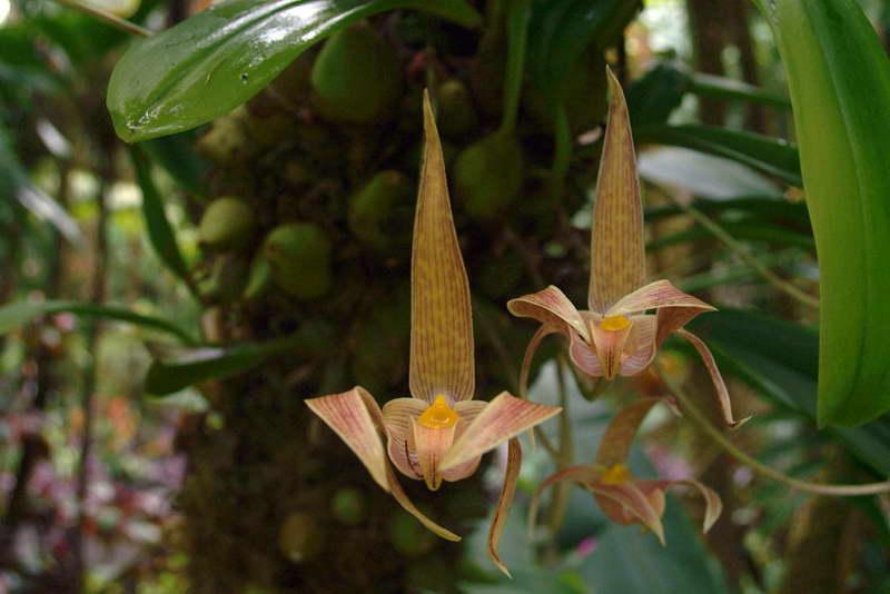 Бульбофиллум Дира Bulbophyllum dearei фото