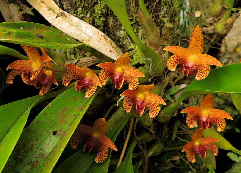 Бульбофиллум Лобба Bulbophyllum Lobbii фото