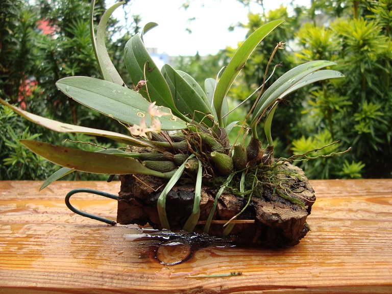 Бульбофиллум Псих Bulbophyllum psychoon фото