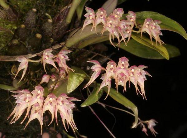 Бульбофиллум Псих Bulbophyllum psychoon
