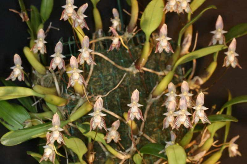 Бульбофиллум амброзия Bulbophyllum Ambrosia фото