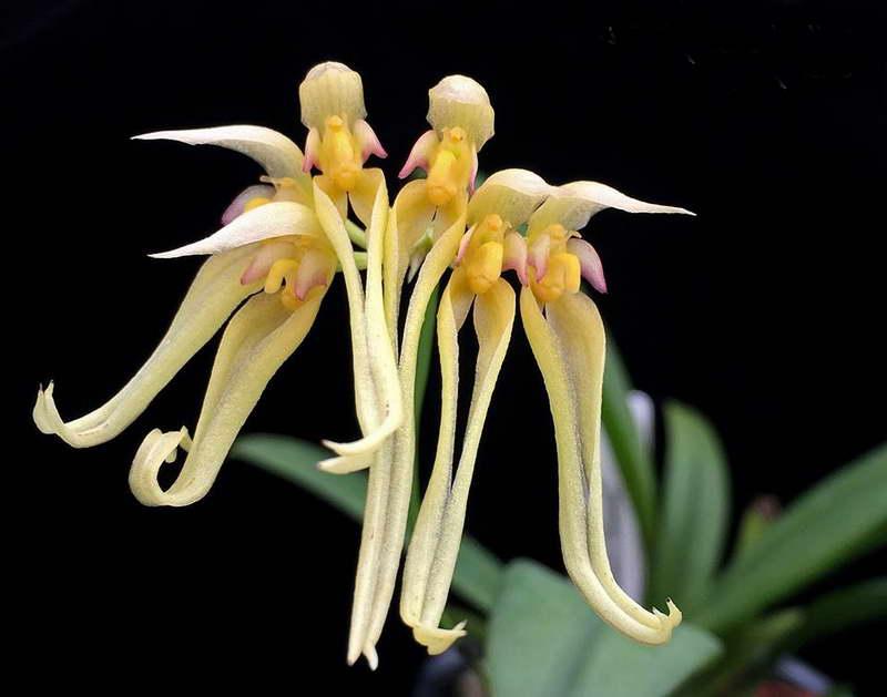 Бульбофиллум благородный Bulbophyllum formosanum фото