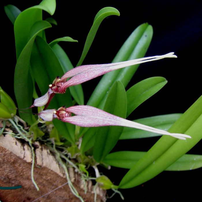 Бульбофиллум двуцветковый Bulbophyllum biflorum фото