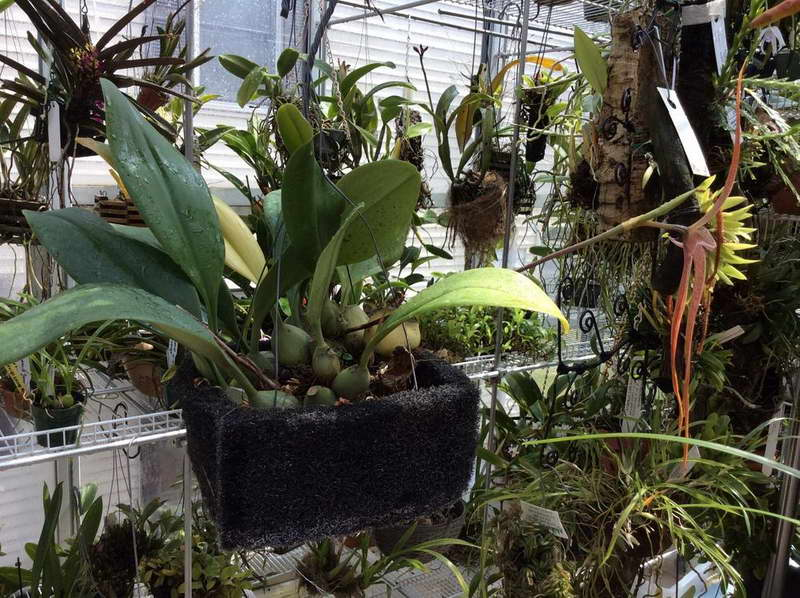 Бульбофиллум эхинолабиум Bulbophyllum Echinolabium фото