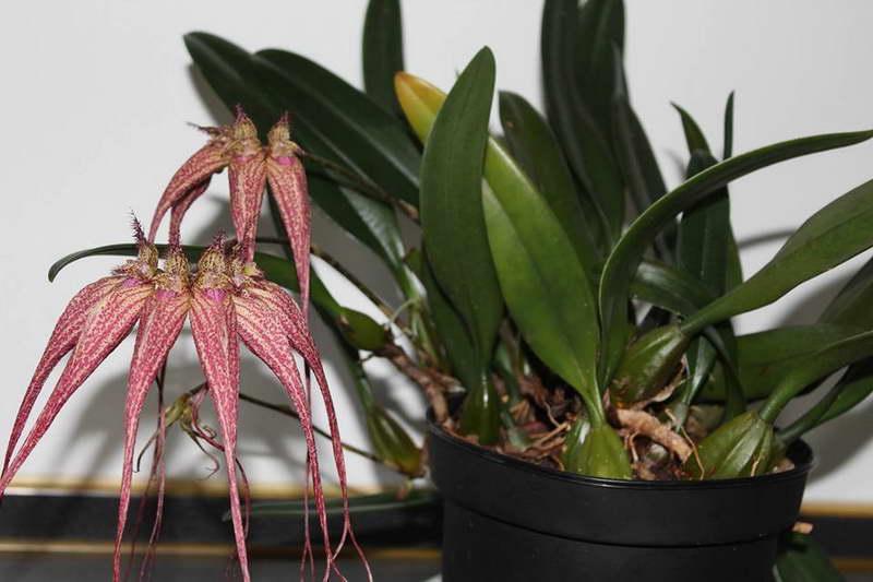 Бульбофиллум элизабет энн Bulbophyllum Elisabeth Ann 'Buckleberry' фото