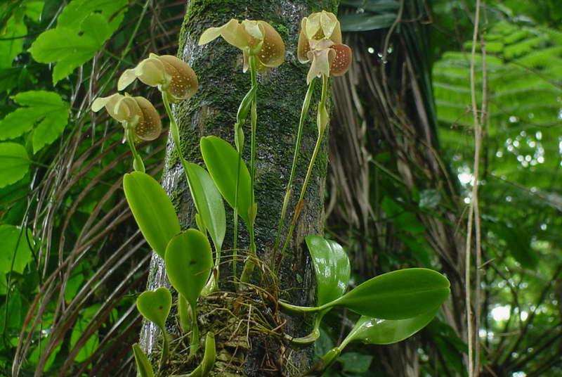 Бульбофиллум крупноцветковый Bulbophyllum grandiflorum фото