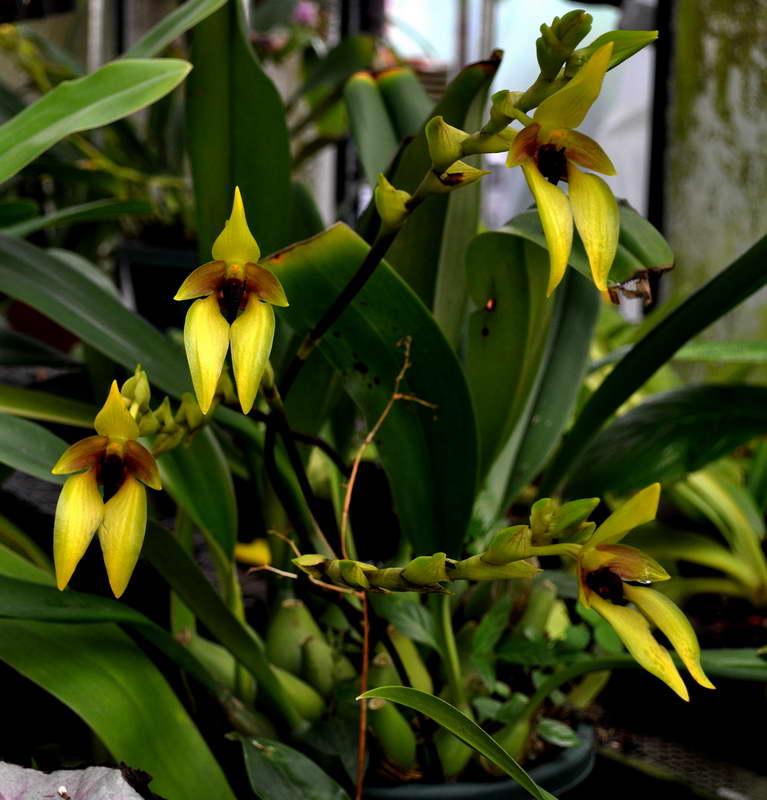 Бульбофиллум мясистый Bulbophyllum Carunculatum фото