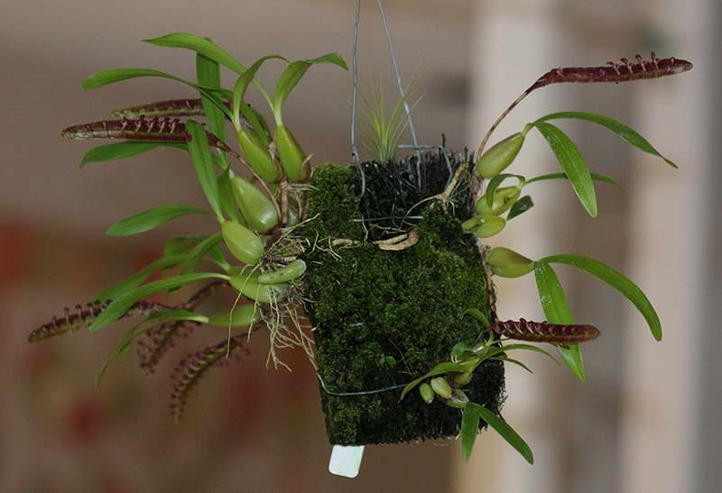 Бульбофиллум серповидный Bulbophyllum Falcatum фото