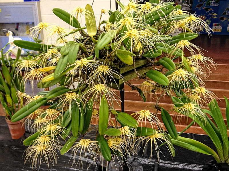 Бульбофиллум вагинатум Bulbophyllum vaginatum фото