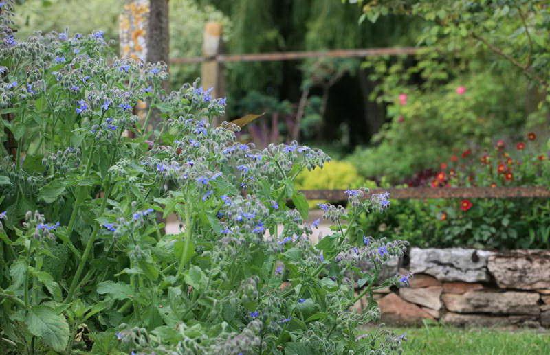 Бурачник или огуречная трава в дизайне сада фото