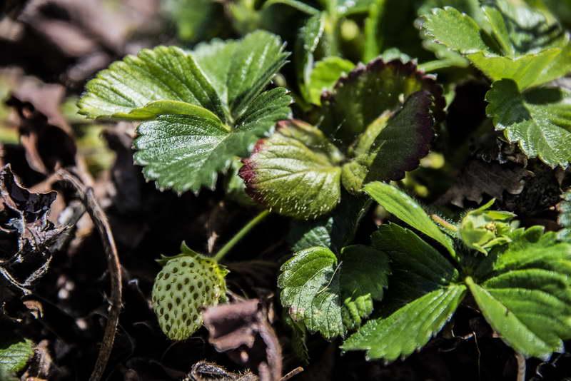 Бурые края листьев клубники - признак недостатка калия