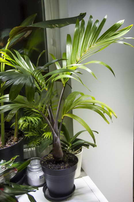 Бутылочная пальма гиофорба фото в домашних условиях