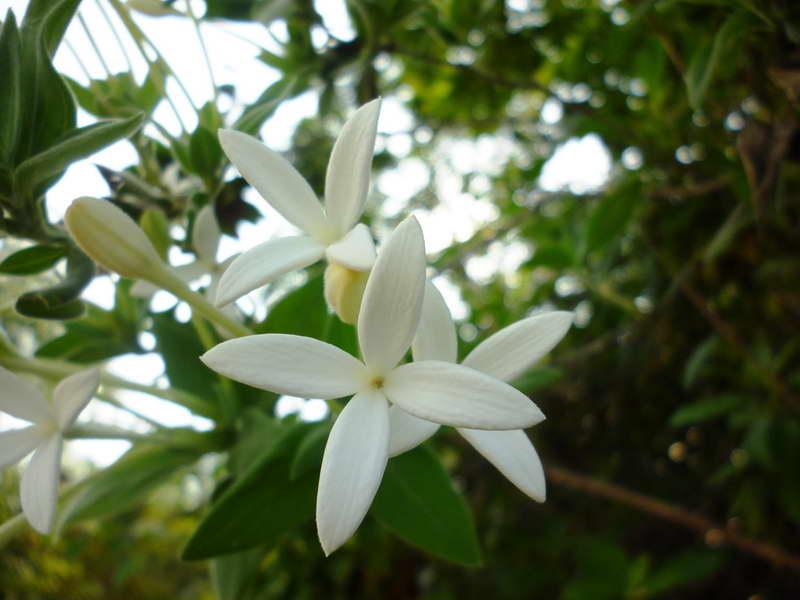 Бувардия длинноцветковая Bouvardia longiflora фото