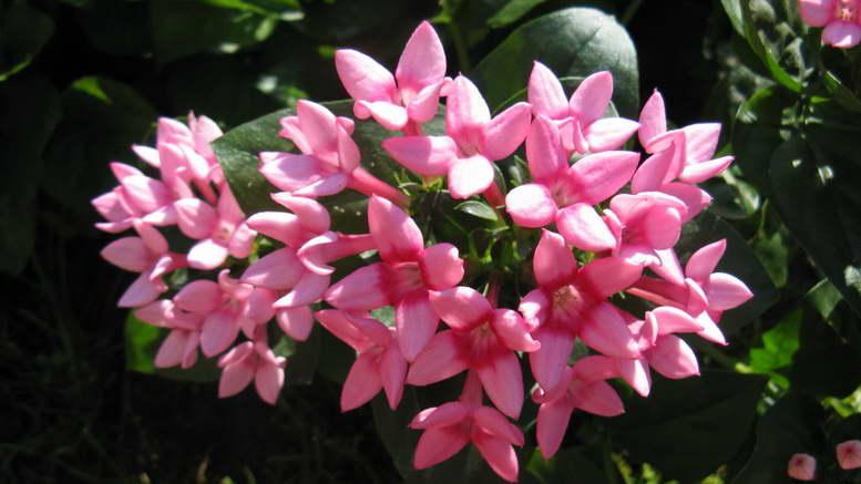 Бувардия домашняя комнатные растения Как ухаживать и размножать