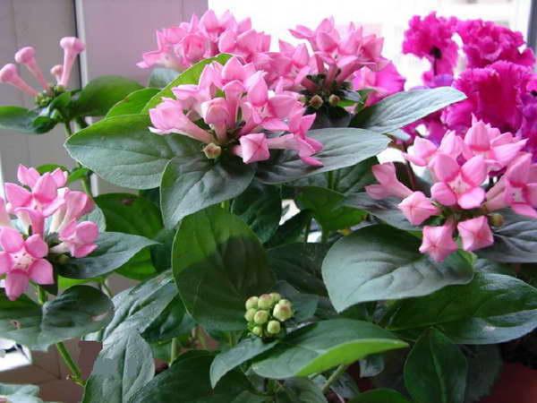 Бувардия розовая фото в домашних условиях