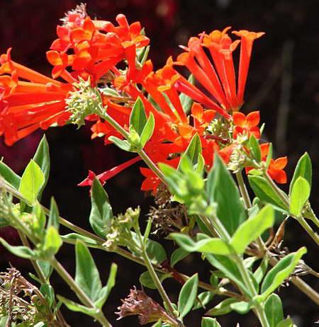 Бувардия тернифолиа или куст фейерверка Bouvardia ternifolia фото