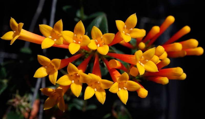 Бувардия желтая Bouvardia flava фото