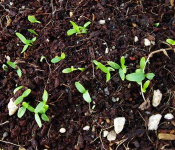 Бузина черная выращивание из семян фото
