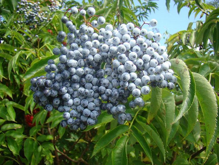 Бузина голубая Sambucus cerulea фото