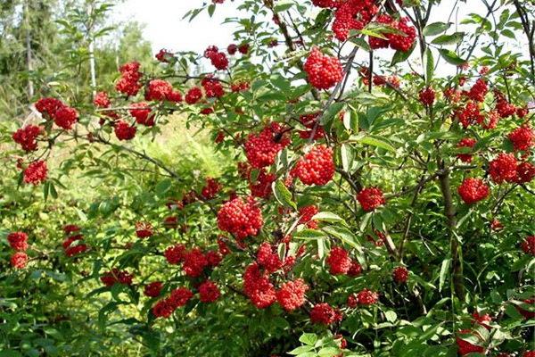 Бузина сибирская красная фото