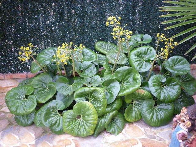 Бузульник Кемпфера Ligularia kaempferi фото