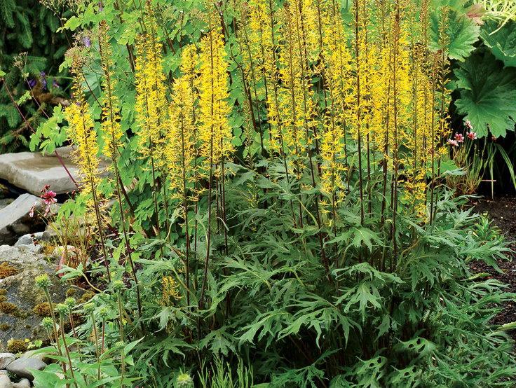 Бузульник Пржевальского кленолистный сорт Ligularia 'Dragon's Breath' фото в саду