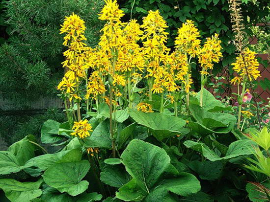 Бузульник Воробьева фото и описание растения