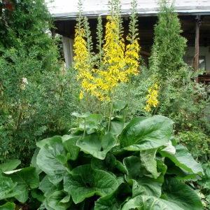 Бузульник крупнолистный Ligularia macrophylla фото