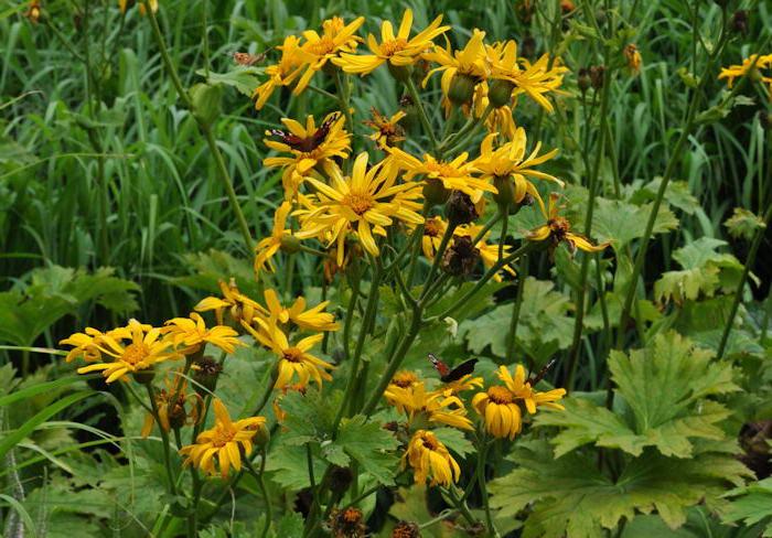Бузульник пальчатопластный, или дланевидный Ligularia x palmatiloba фото в саду