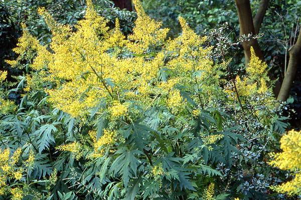 Бузульник тангутский Ligularia tangutica Maxim