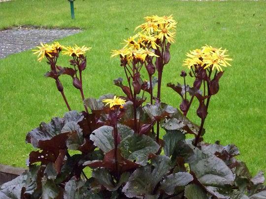 Бузульник зубчатый Отелло Ligularia Dentata Othello посадка и уход фото цветов