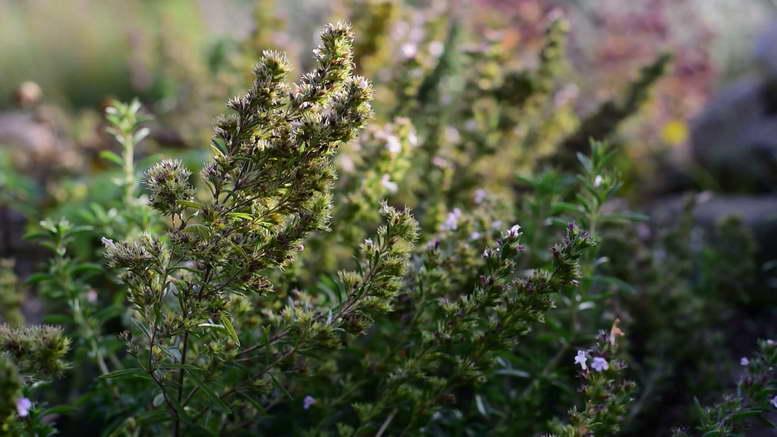 Чабер садовый ароматный выращивание из семян Посадка и уход в открытом грунте