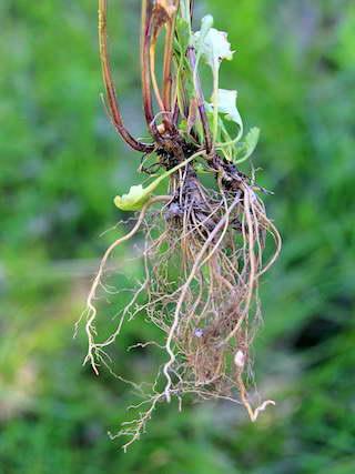 Часть корневища нивяника с ростками, отделенная от куста фото