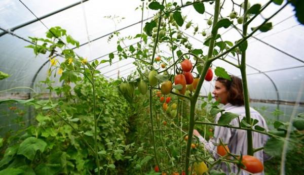 Чем лучше подкармливать помидоры в теплице