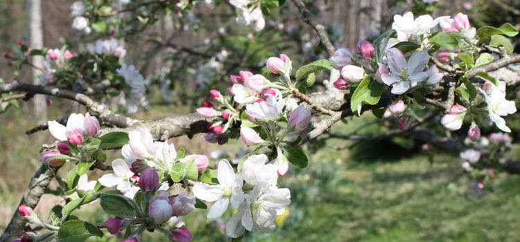 Чем можно подкормить яблони чтобы плодоносили