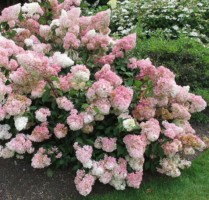 Чем осенью подкормить розовую гортензию на зиму