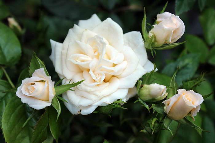 Чем отличаются парковые розы фото цветов