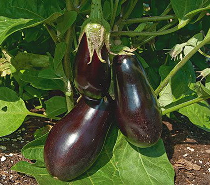 Чем подкормить баклажаны для плодоношения