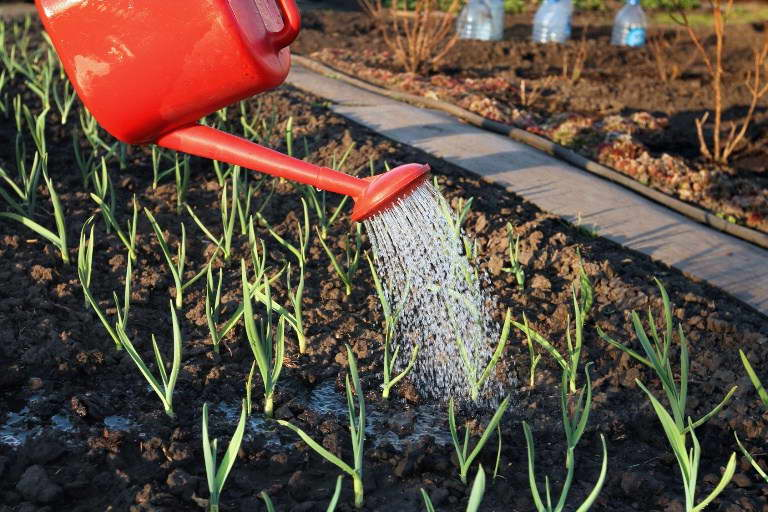 Чем подкормить чеснок весной посаженный под зиму рецепты