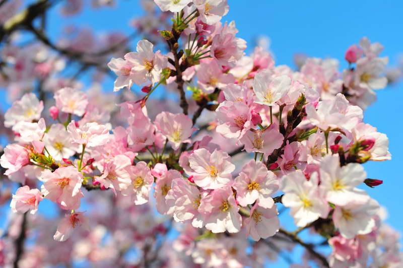 Чем подкормить дерево вишни весной