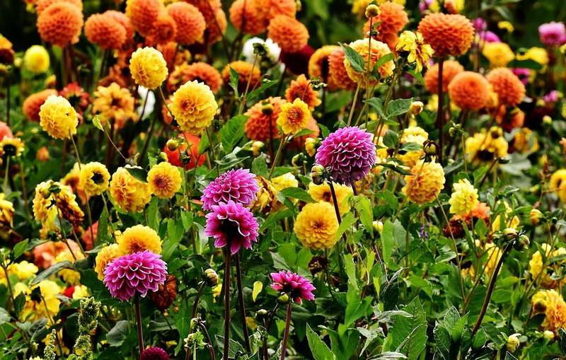 Чем подкормить георгины для пышного цветения и роста