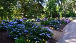 Чем подкормить гортензии чтобы цвели Подкормка весной летом и осенью