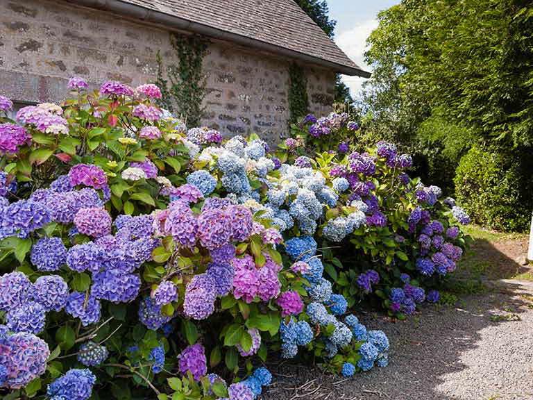 Чем подкормить гортензию для цветения весной летом и осенью