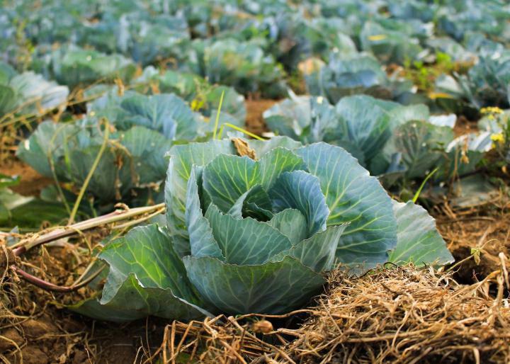 Чем подкормить капусту для завязывания головок