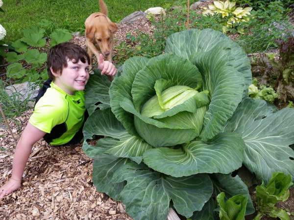 Чем подкормить капусту в июле и августе для роста кочана в открытом грунте рецепты